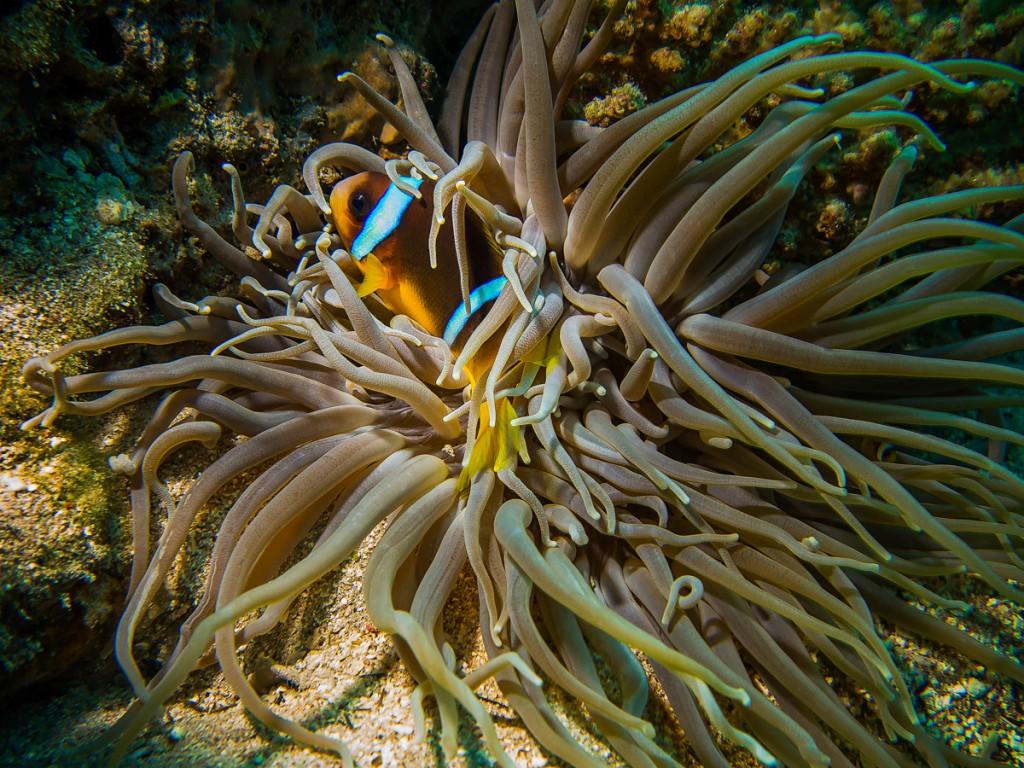Klovne Fiske i koral